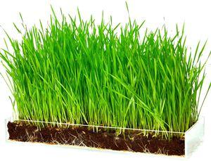 Window Garden Organic Wheatgrass Growing Kit