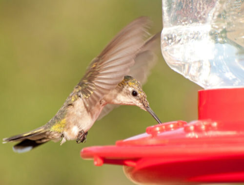 The Best Hummingbird Food and Nectar