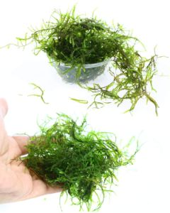 Live Aquarium Plants JAVA Moss