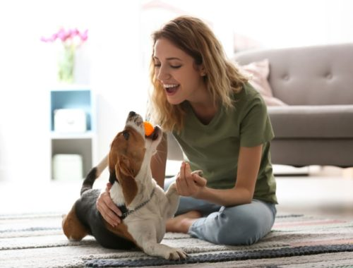 Woman playing with her beagle dog at home with a ball
