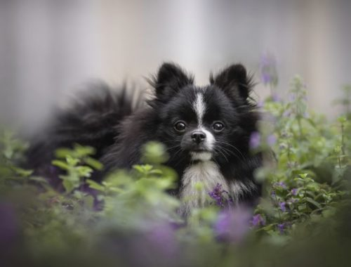 Black and white puppy sitting in catnip bushes