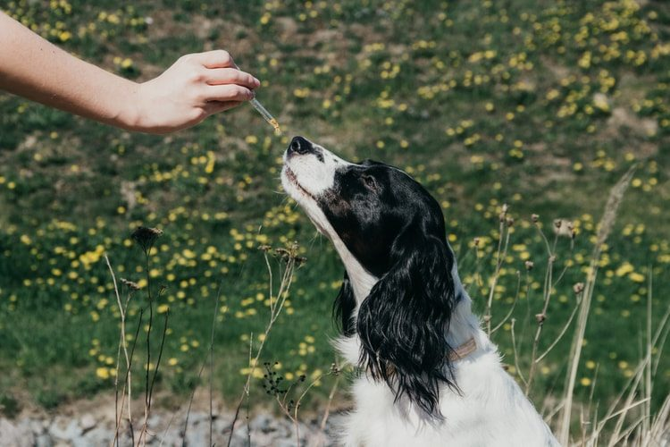 Hemp Oil vs. CBD Oil for Dogs: Which is Better?