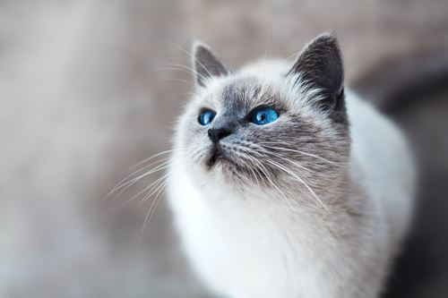 White cat with grey points and blue eyes