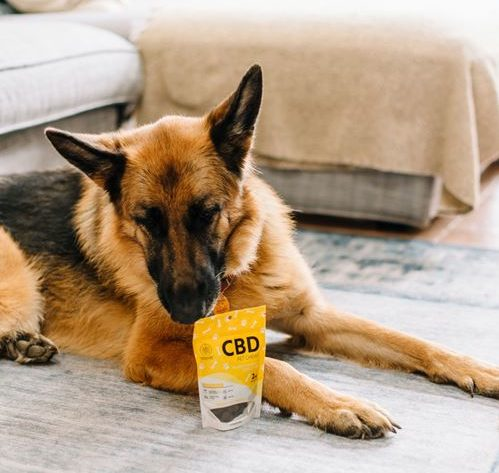 A German shepherd smelling a bag of CBD dog treats