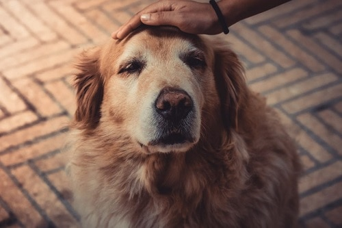 CBD oil is beneficial for senior dogs