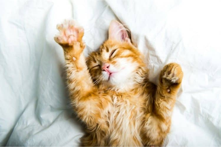 How Long Do Cats Live Vet Answers Age Chart Pet Life Today