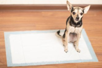 Why Is My Housebroken Dog Peeing in the House? Potty Training Questions and Solutions.