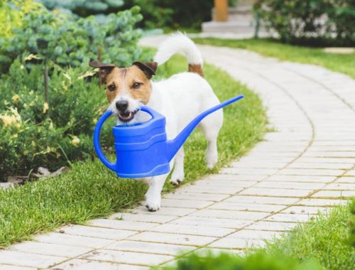 Dog walking outside next to flower bed carrying watering can