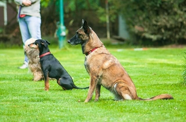 Dogs participating in obedience training outdoors