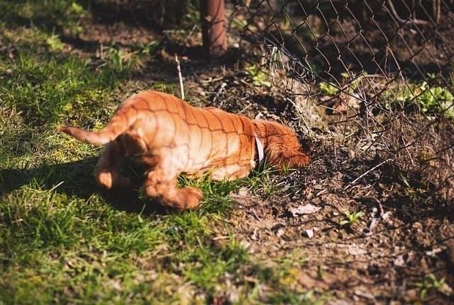 Dog digging under fence
