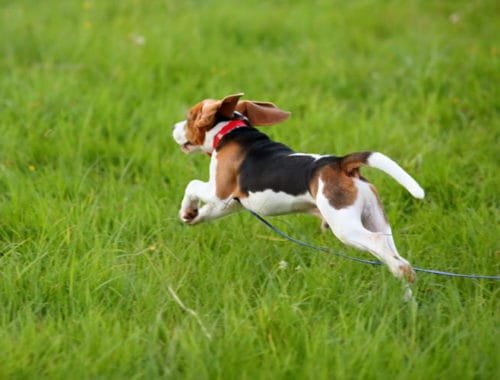a vet explains why dogs run away