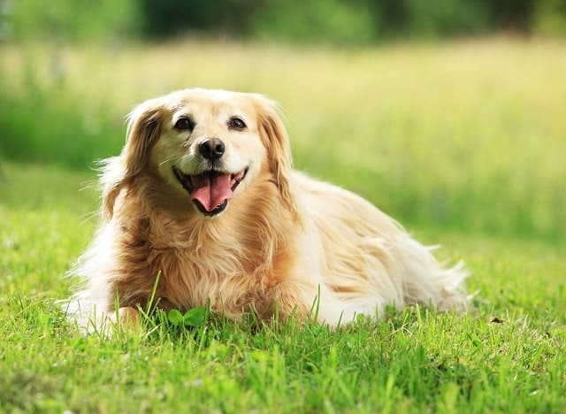 Dog laying in the grass outdoors