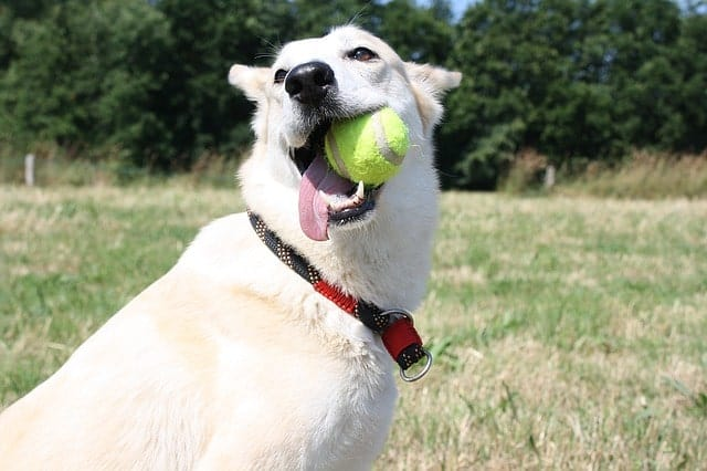 Dog practicing fetch with tennis ball in his mouth