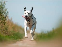 A Dalmatian running on a path outside