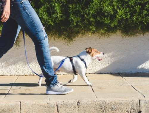 Jack Russell Terrier walking on a loose leash