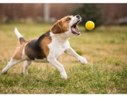 Beagle dog playing fetch outdoors with a yellow ball