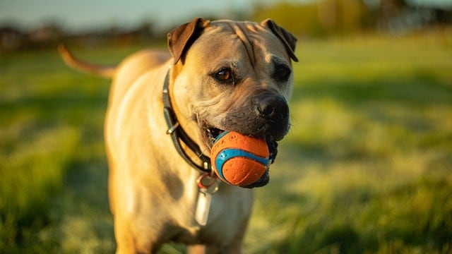 Dog with a ball in his mouth playing a game of fetch