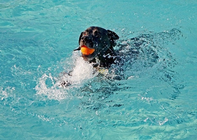 Dog in pool fetching a ball
