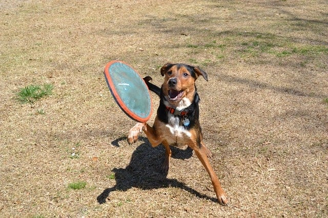 Dog playing fetch in the park with a dog-safe frisbee