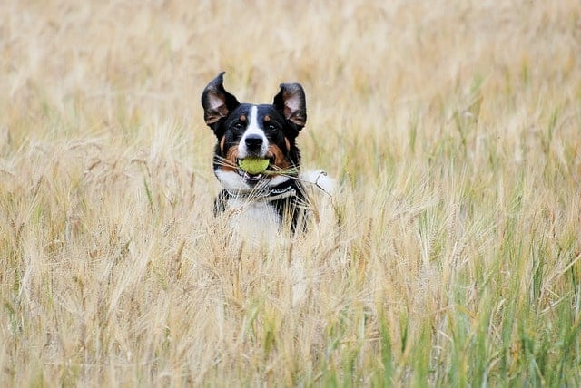 Dog in field playing fetch with a tennis ball