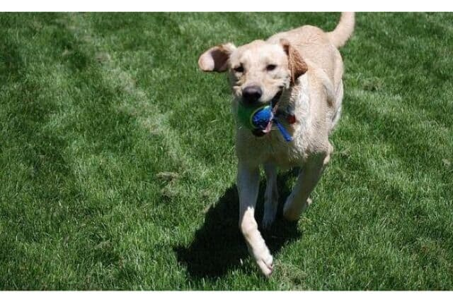 Dog playing fetch in the park with a tennis ball