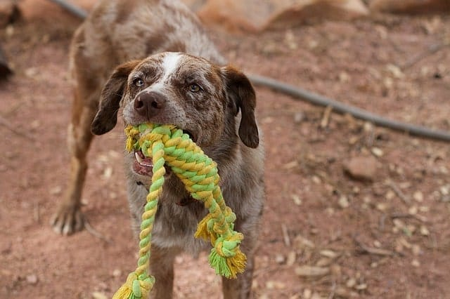 Dog with a rope toy in his mouth playing tug-of-war
