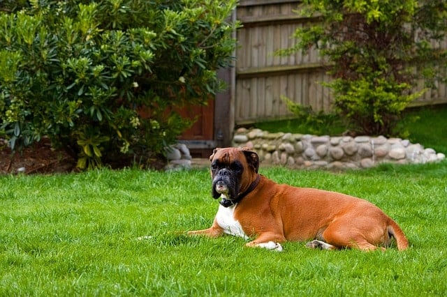 Bull dog resting within the boundaries marked by the invisible fence in their yard