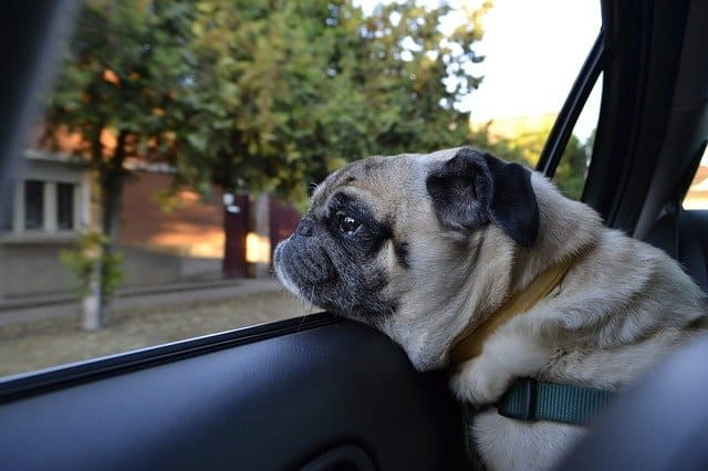 Pug dog riding in a car to their new home