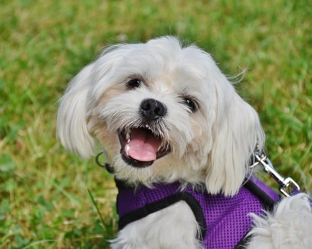 Closeup of a happy Maltese dog on a walk wearing a harness