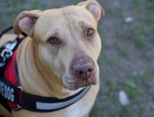 Guide dog wearing service dog vest