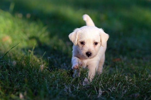 Puppy running through grass