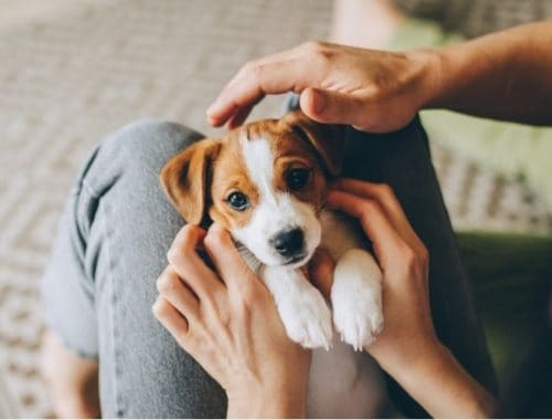 Jack Russell terrier puppy getting attention in owner's lap
