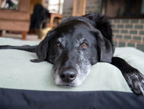 Senior dog lying on a dog bed