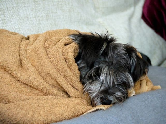 Wet dog wrapped in a towel resting on a bed