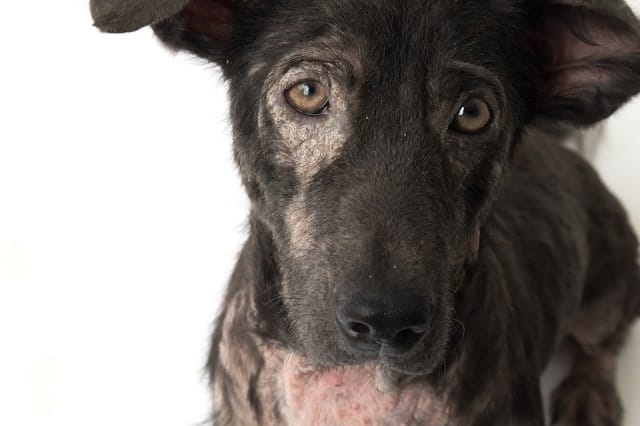 Dog with hair loss and skin problems
