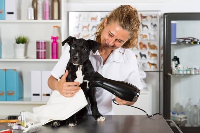 Groomer blow drying a dog