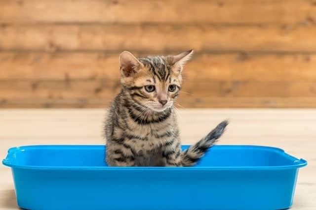 Kitten using a litter box