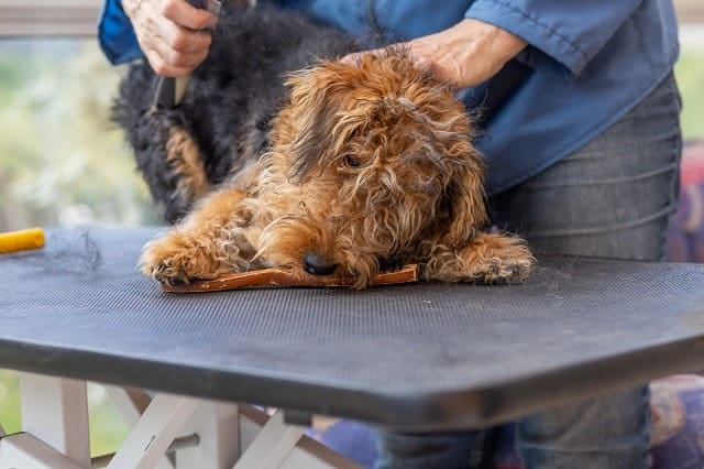 Dog on a table being groomed with clippers