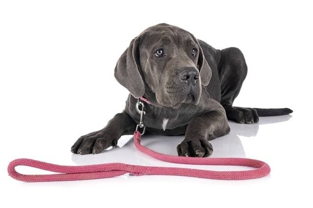Great Dane puppy with leash