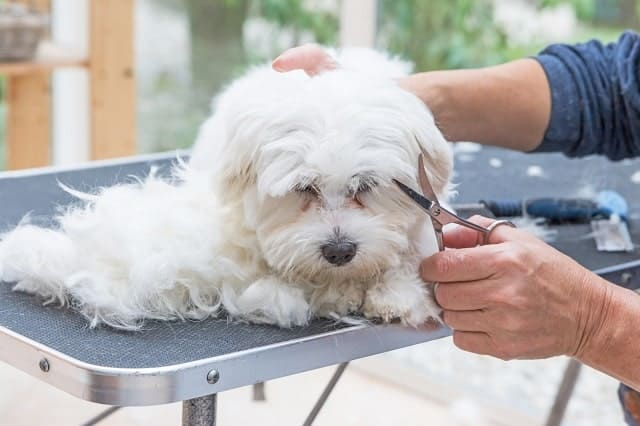 Trimming the hair around the face of a white dog