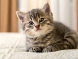 Adorable tabby kitten on bed looking curiously at the camera