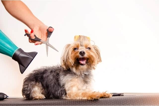 Dog being blow dried and groomed