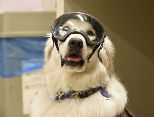 Sampson the service dog wearing PPE