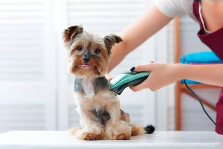 Yorkshire Terrier being shaved by a groomer