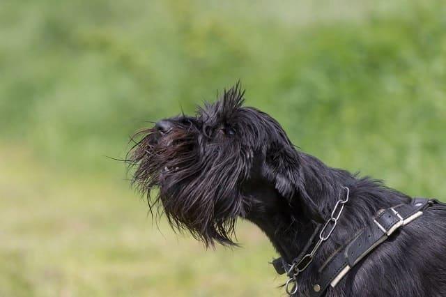 Dog outdoors barking