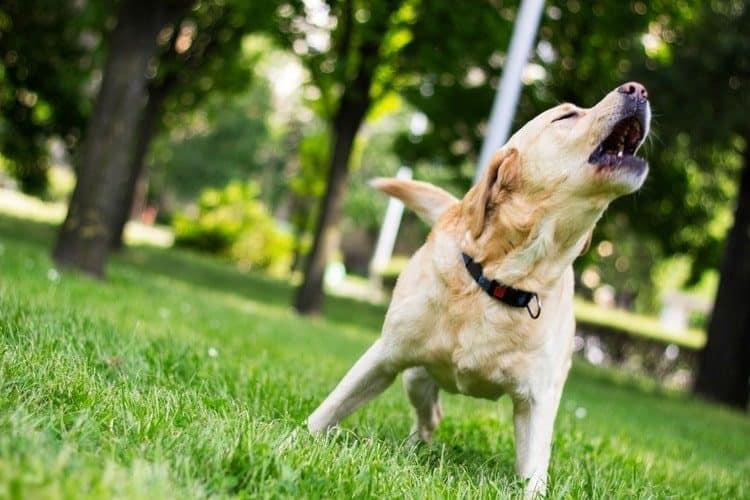 Dog barking in the grass