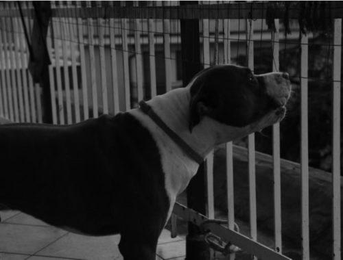 Dog barking through a fence at night